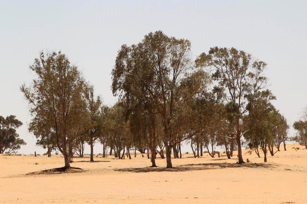 Euclayptus
