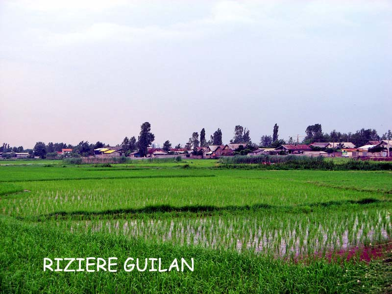 riziere-guilan-1.jpg